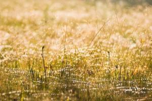 Plevel v trávníku - Metlička