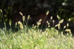 Plevel v trávníku - Mohár šedý