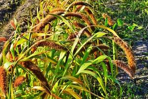 Plevel v trávníku - Mohár zelený