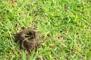 Mravenci v trávníku