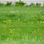 Plevele v trávníku, co dělat (+ ochrana proti škůdcům a nemocem trávníku)
