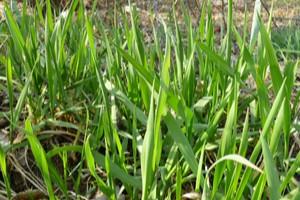 Plevel v trávníku - Pýr plazivý (Elymus repens)