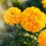 Jak pěstovat aksamitník (i na balkoně) - ze semínek nebo sazenic?