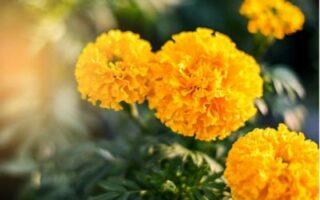 aksamitník žlutý
