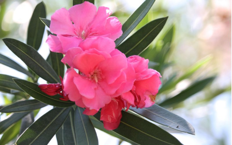 Růžový oleandr