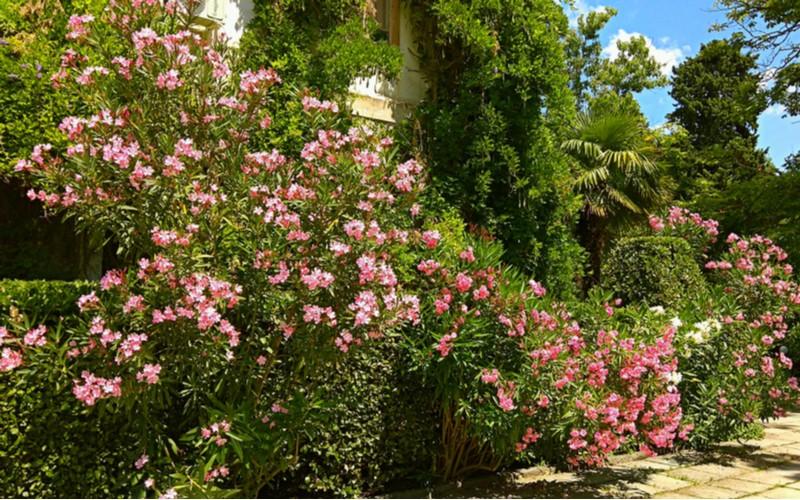 velký oleandr v zahradě