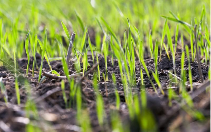 Jak založit trávník - čerstvě vzešlý trávník