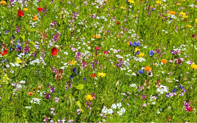 kvetoucí trávník