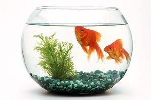 Malé kulaté akvárium s dvěma rybičkami