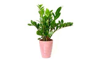 Zelená rostlina v růžovém květináči